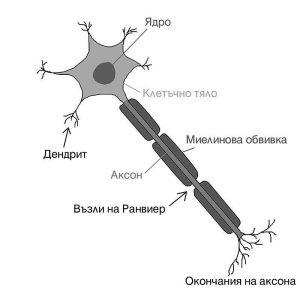 Грубо, така изглежда невроните, наричани още нервни клетки.